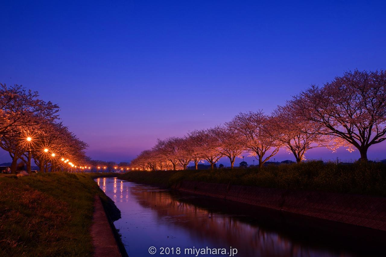 草場川の夜桜
